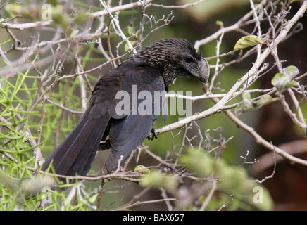 Smooth-billed Ani Bird, Crotophaga ani, Cuculidae, Santa Cruz Island (Indefatigable) Galapagos Islands, Ecuador, - Stock Photo