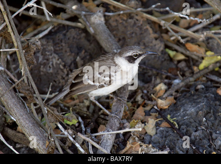 Galapagos Mockingbird, Nesomimus parvulus syn mimus parvulus, Santa Cruz Island (Indefatigable), Galapagos Islands, - Stock Photo