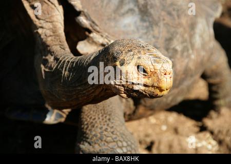 Galapagos Giant Tortoise, Chelonoidis nigra porteri, (Geochelone nigra), Testudinidae, Darwin Research Station, - Stock Photo