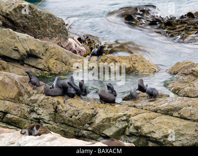 Young Fur Seals pups South Island New Zealand - Stock Photo