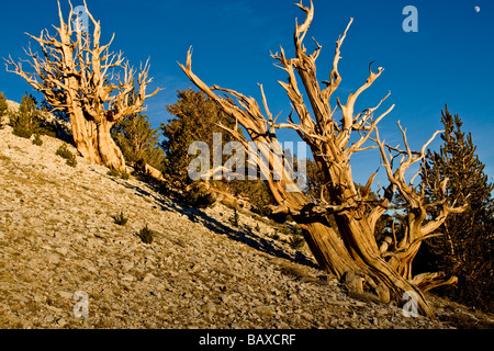 Ancient Bristlecone Pine Trees in the White Mountains of California - Stock Photo