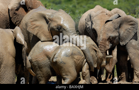 A group of female African Elephants (Loxodonta africana) enjoy the pleasures of cool mud at a water hole. - Stock Photo