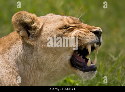 African Lion (Panthera leo) Lioness showing her teeth head portrait open mouth Kruger National Park South Africa - Stock Photo