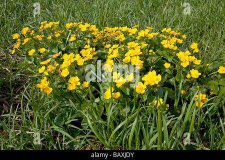 Marsh marigolds or kingcups Caltha palustris North meadow Cricklade UK - Stock Photo