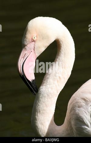 Portrait Showing Curved Neck Of Greater Flamingo Phoenicopterus roseus At Martin Mere WWT, Lancashire UK - Stock Photo