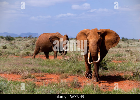 Two African Bush Elephants (Loxodonta africana) in savannah, Tsavo East National Park, Coast, Kenya - Stock Photo