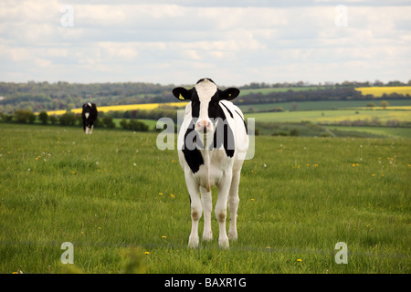 Close up of a Black & White cow looking straight at camera in a field - Stock Photo