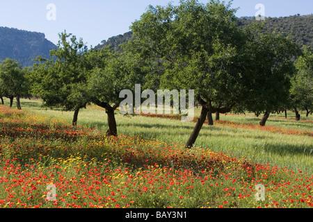 Glorious Wildflower Meadow and Almond Trees, Near s'Esgleieta, Mallorca, Balearic Islands, Spain - Stock Photo
