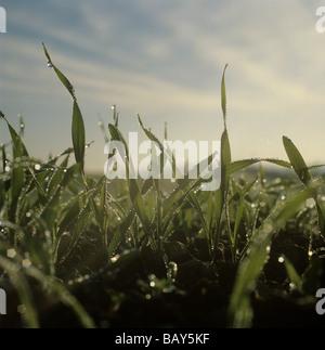 Dew drops of winter barley seedlings in early morning misty autumn light - Stock Photo