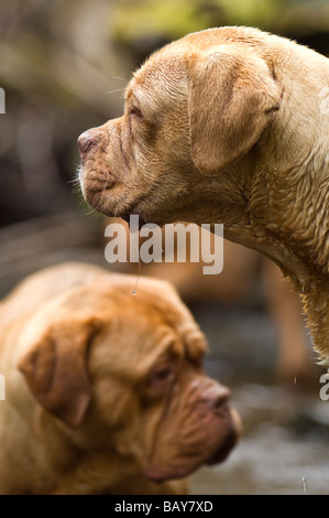 Dogue de Bordeaux large heavy mastiff dog first used in France  for guarding and hunting boar and bear . - Stock Photo