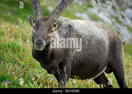 ibex at notch Fuerschiessersattel near hut Kemptner Huette, capra ibex, Allgaeu range, Allgaeu, Swabia, Bavaria, - Stock Photo