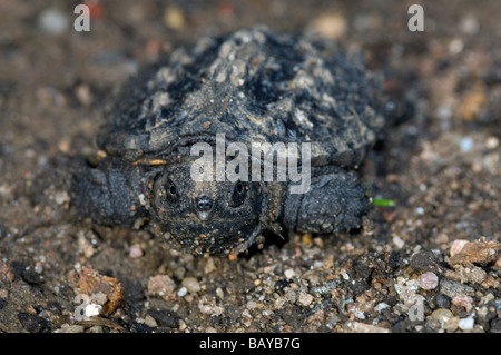 Baby common snapping turtle Chelydra serpentina - Stock Photo