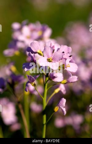 Ladies Smock, Cardamine pratensis, Cuckoo Flower - Stock Photo