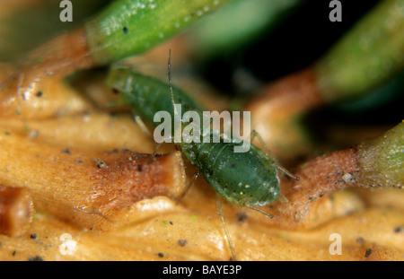 Green spruce aphid Elatobium abietinum on Norway spruce - Stock Photo