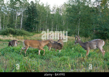 White-tailed bucks in a food plot - Stock Photo