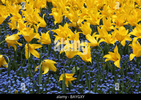 Close up of a bed of yellow tulips and blue forget-me-not - Stock Photo