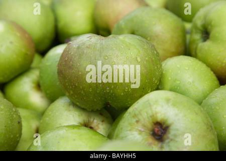 malus domestica Bramley Seeling apple crop of armagh bramley apples - Stock Photo