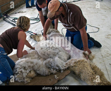 An Alpaca, Lama pacos,  being shorn of it's fleece. - Stock Photo