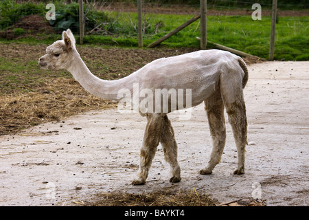 An Alpaca, Lama pacos, leaving the shed after being shorn of it's fleece. - Stock Photo