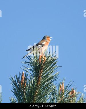 Male Chaffinch Fringilla coelebs - Stock Photo