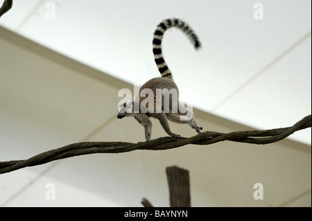 Ring tailed Lemur running across vine. Singapore Zoo, Singapore - Stock Photo