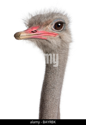 close up on a ostrich s head in front of a white background - Stock Photo
