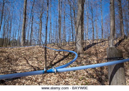 Sap lines in maple sugar bush at Purple Woods Conservation area near Oshawa Ontario Canada - Stock Photo