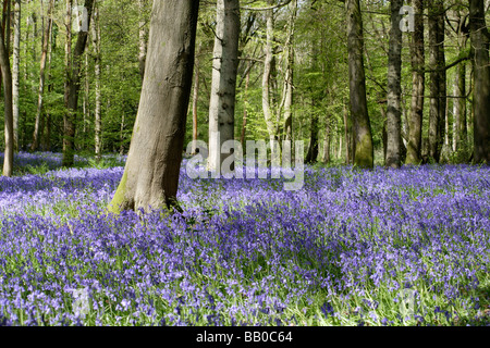 Bluebell woods in Spring at Staffhurst wood Surrey UK - Stock Photo