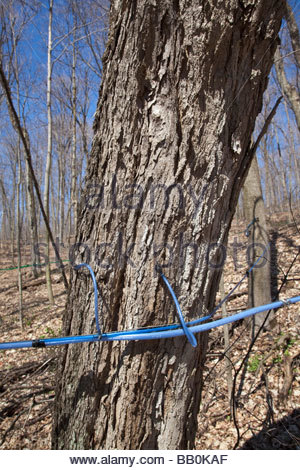 Tapped tree in maple sugar bush at Purple Woods Conservation area near Oshawa Ontario Canada - Stock Photo