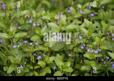 Brooklime, Veronica beccabunga, Plantaginaceae (Scrophulariaceae) - Stock Photo