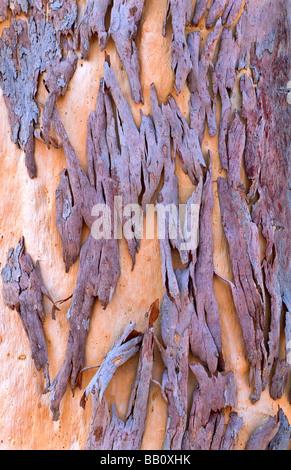Tree bark detail, Australia - Stock Photo