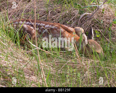 young babe roe deer - Stock Photo