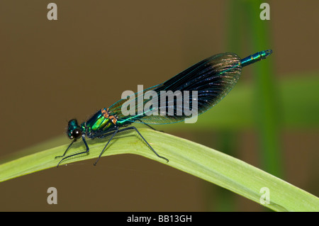 Male banded demoiselle on a leaf - Stock Photo