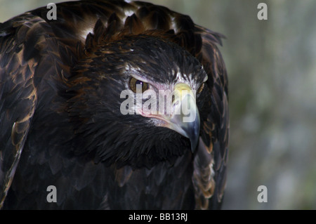 Eagle.Wedge-tailed Eagle 'Aquila audax' Adult.,Head & Shoulders only. - Stock Photo