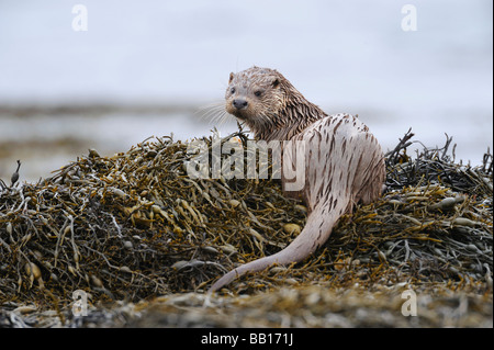 An Otter sitting on seaweed covered rocks on the shoreline of a loch on the Isle of Mull Scotland - Stock Photo