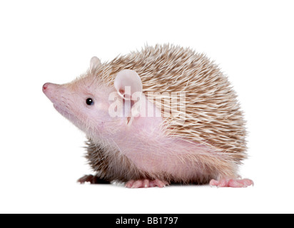 Lesser Hedgehog Tenrec Echinops telfairi in front of a white background It is endemic to Madagascar - Stock Photo