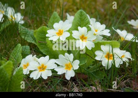 Primula vulgaris (primrose) flowering in spring and growing wild in garden lawn - Stock Photo