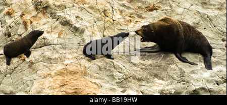 Fur Seals Family  near Kaikoura South Island New Zealand - Stock Photo