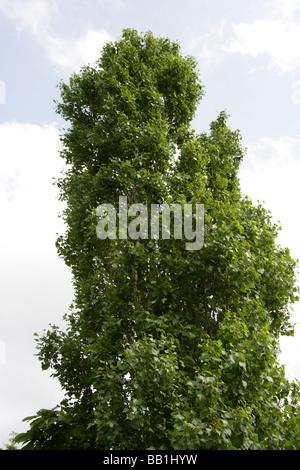 Black Poplar or Lombardy Poplar, Populus nigra, Salicaceae - Stock Photo