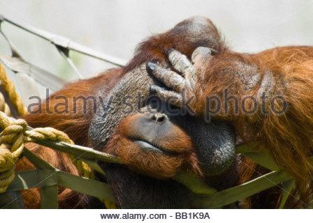 Sumatran Orangutan holding his head, Pongo Pygmaeus, Denver Zoo, Colorado, USA - Stock Photo