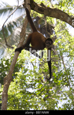 A spider monkey hangs from his tail in the jungle of Corcovado National Park, Costa Rica - Stock Photo