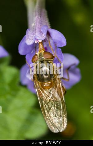 Rhinga campestris hoverfly feeding from a purple Bugle (Ajuga reptans) flower - Stock Photo