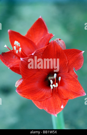 CLOSE UP OF RED AMARYLLIS FLOWER - Stock Photo