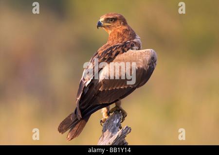 Tawny Eagle (Aquila rapax), Kruger National Park, South Africa - Stock Photo