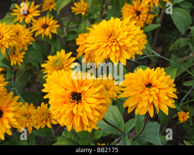 Rudbeckia hirta 'Goldilocks',  Coneflower - Stock Photo