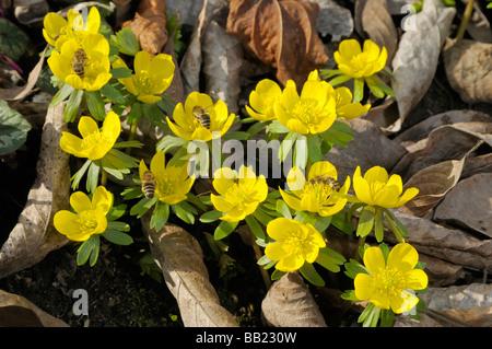 Winter Aconite (Eranthis hyemalis, Eranthis hiemalis), Flowering plants with Honeybees (Apis mellifera) - Stock Photo