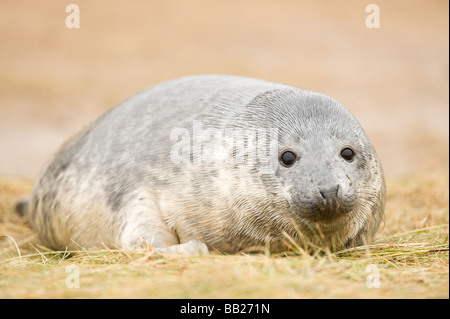 Grey seal on Donna Nook - Stock Photo