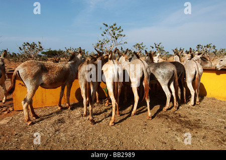 Netherlands Antilles Bonaire the donkey sanctuary - Stock Photo