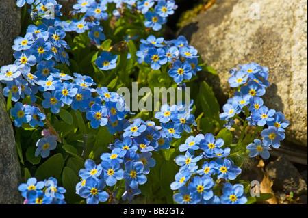 Alpine forget-me-not boraginaceae MYOSOTIS Rehsteineri alpes europe Bodensee-Vergissmeinnicht Bodensee Vergissmeinnicht - Stock Photo