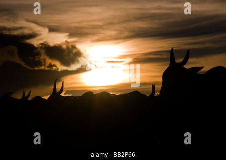 Herd of cattle BR 163 road Cuiabá Santarém road at South Para State Amazon Brazil - Stock Photo